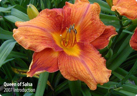 Daylilies and More!